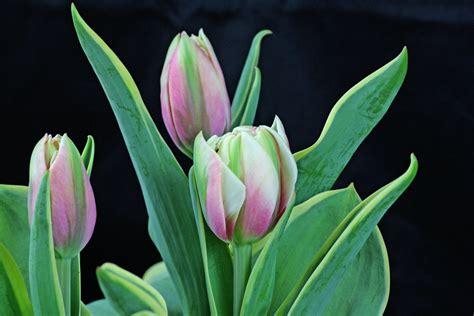 Tulpen Einpflanzen by Tulpen Pflege Im Garten