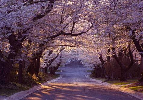 1325201898 le japon le japon pour la f 234 te de hanami le japon est recouvert de fleurs