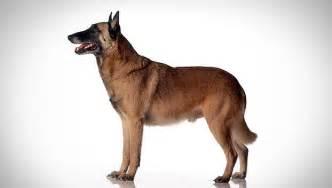 belgian sheepdog as guard dog belgian malinois dog breed selector animal planet
