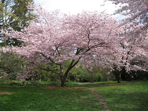 prunus x yedoensis google s 248 gning plants pinterest trees prunus and yoshino cherry tree