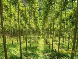 Pohon Bodhi Kecil Sedang Besar usaha modal kecil untung besar usaha perkebunan sengon bisnis review