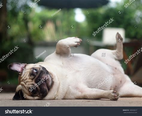 when do pug puppies start walking white lovely pug laying and rolling on the floor and