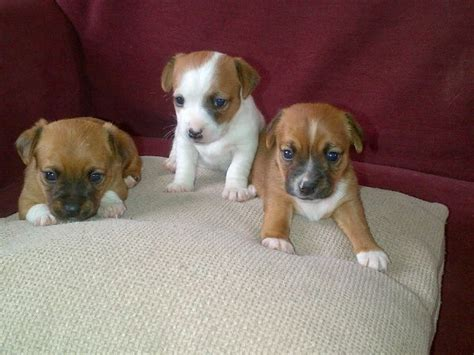 rat terrier chihuahua mix puppies for sale best 25 mix ideas on russells puppies and