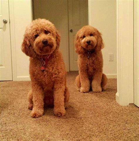medium goldendoodle puppies for sale and o connell on