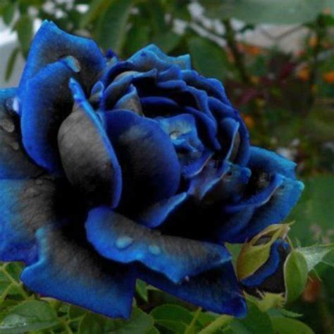 black flower garden buy wholesale blue black roses from china blue