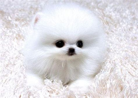 teacup pomeranians for sale in illinois teacup pomeranian puppies for sale in colorado zoe fans baby animals