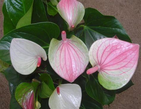 anthurium fiori anturio anthurium andraeanum anthurium andraeanum