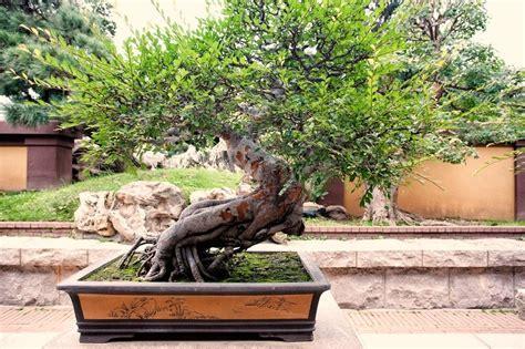 vasi per bonsai prezzi prezzi bonsai piante appartamento attrezzi e vasi per