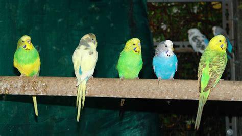 pappagallini ondulati alimentazione melopsittacus undulatus pappagallino ondulato
