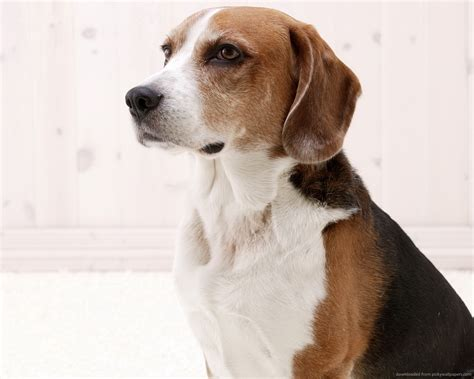 American Foxhound Breed Guide - Learn about the American ...
