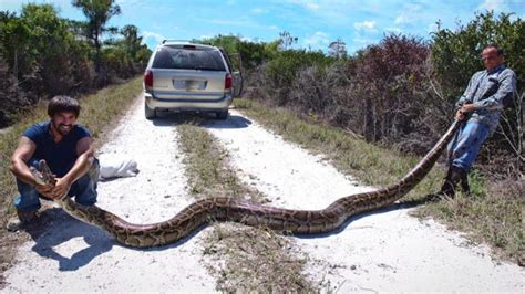 Gator Plumbing Of South Florida - invasive in south florida snake attacks warning