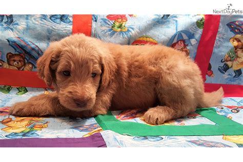 goldendoodle puppy for sale dayton ohio purple collor goldendoodle puppy for sale near dayton