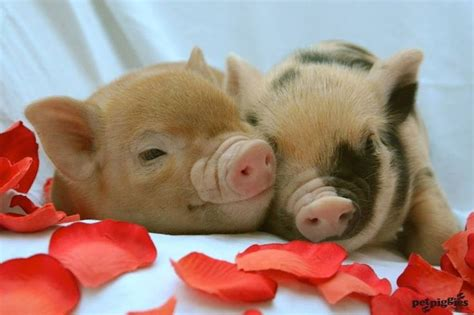 valentines pig 172 best images about moo on