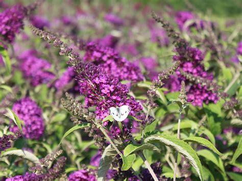 Winterharte Stauden Für Den Garten 723 by Zwerg Sommerflieder Schmetterlingsstrauch Buzz 174 Pink