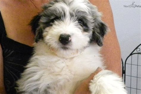 mini aussiedoodle puppies for sale near me aussiedoodle puppy for sale near las vegas nevada 753084ae a8f1