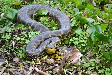 boa curiyu  anaconda amarilla eunectes notaeus serpientes anfibios  reptiles pinterest