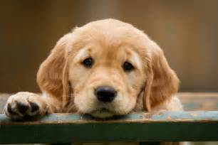 Comfort Spaniel Golden Retriever Facts Thinglink