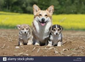 pembroke corgi colors pembroke corgi and two puppies different