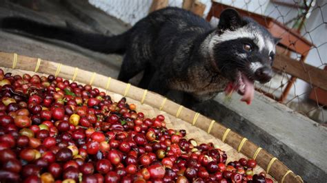 Coffee Luwak Indonesia now a test can tell if your pricey cup of cat coffee