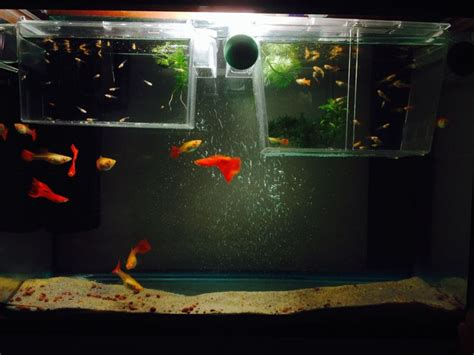 aquarium design for guppies guppy fish tank with adults and babies oh how i wish i