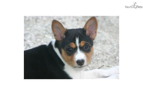 tricolor basenji puppies for sale tri color basenji puppies for sale breeds picture