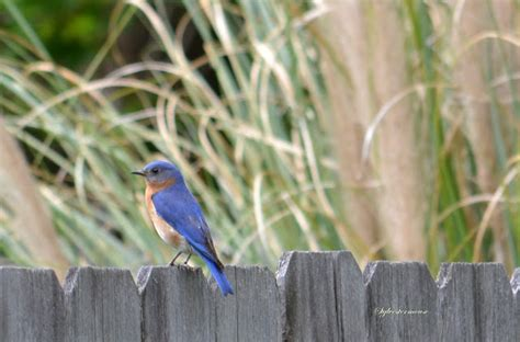 wooden birdhouse for eastern bluebirds reviewed