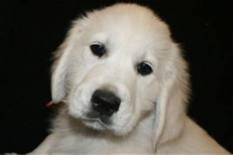 golden retriever puppies in medford oregon golden retriever puppies