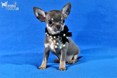 chihuahua puppies for sale in louisiana chihuahua mix puppy breeds picture