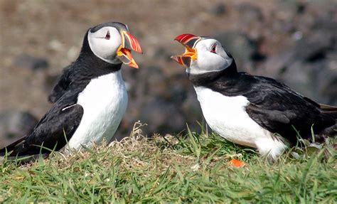 file atlantic puffins scotland jpg wikipedia