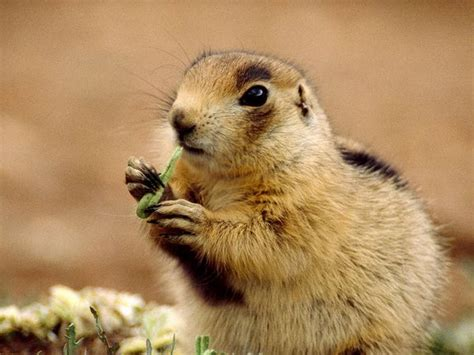 prairie dogs prairie dogs prairie pictures prairie facts national geographic