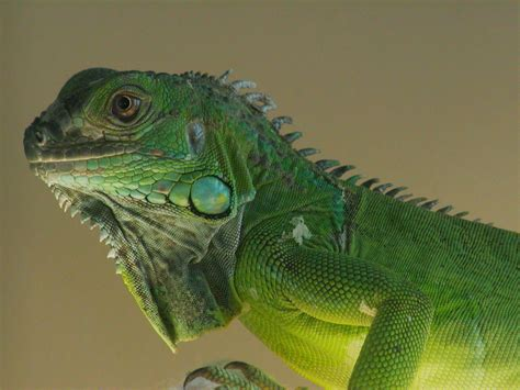 file iguana iguana pet upper body 8a jpg wikimedia commons
