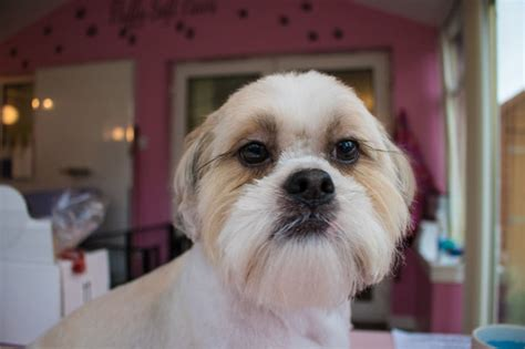 shih tzu information and facts image gallery shut zu