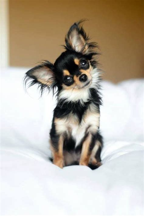 long hair chihuahua hair growth what to expect longhaired chihuahua chihuahuas pinterest chihuahuas