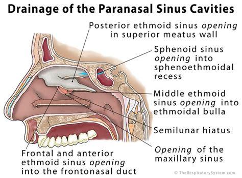 sinus cavity diagram paranasal sinus definition location anatomy function