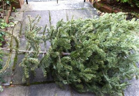 christmas tree recycling collection in exeter the exeter