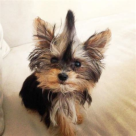 worlds smallest yorkie world s smallest adorable yorkie will melt your paperblog