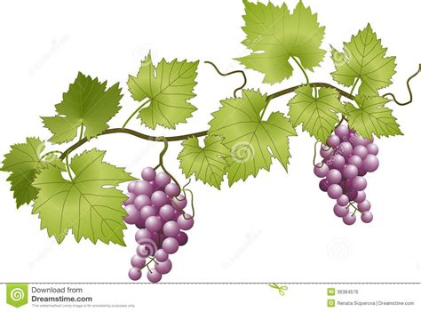 Find On Vine Grapevine Murals Vector Illustration Of Grapevine Grapes And Leaves
