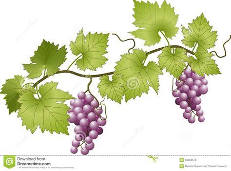 racimo de uvas corel grapevine stock vector illustration of vector