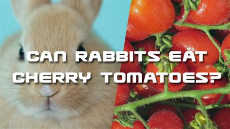 can dogs eat cherry tomatoes pet consider pet authority