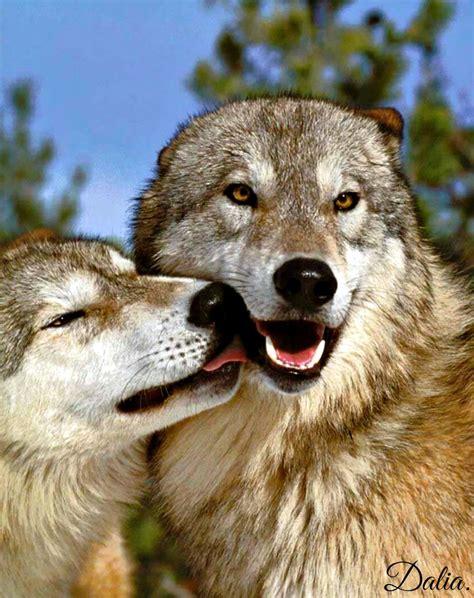 minicuentos de lobos y el lobo feroz im 225 genes