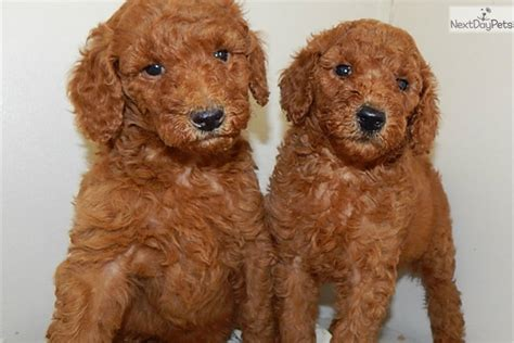standard poodle rescue indiana poodle standard puppy for sale near south bend michiana