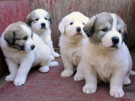 great pyrenees puppies pyr puppy pics 16 at milk honey farm
