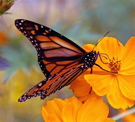 monarch butterfly monarch butterfly populations continues to decline utah