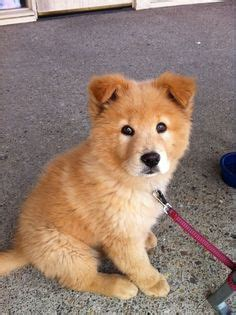 akita golden retriever mix 1000 images about mixed breeds on husky husky mix and shiba inu