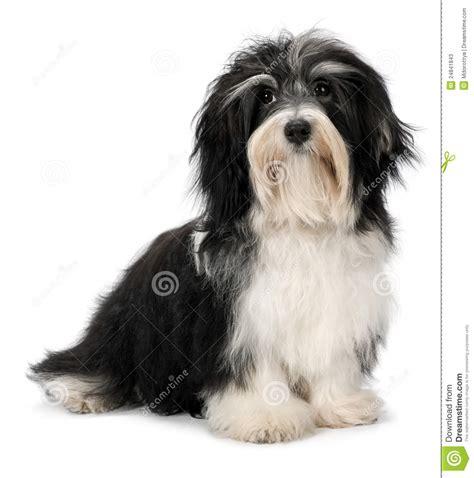 havanese prezzo di cucciolo di seduta sveglio di bichon havanese fotografie stock immagine