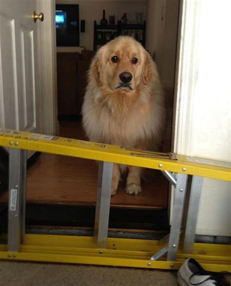 sad golden retriever dogs page 3 the pbh network