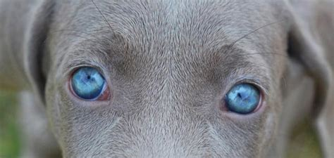 blue eyed puppies blue eyed dogs