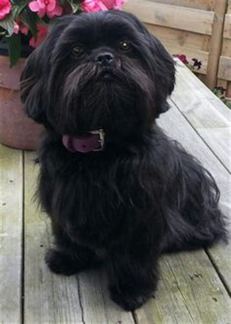 black shih tzu names 1000 images about sweet shih tzus on shih tzu shih tzus and shih tzu