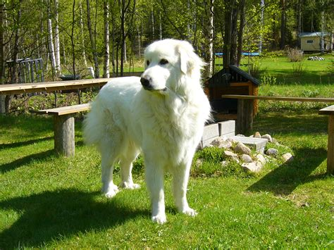 great pyrenees great pyrenees photos and wallpapers the beautiful great pyrenees pictures