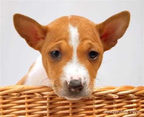 basenji puppy 4 jpg